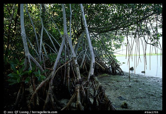 Mangroves on the shore at Convoy Point. Biscayne National Park (color)