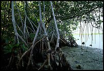 Mangroves on the shore at Convoy Point. Biscayne National Park, Florida, USA. (color)