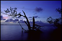 Biscayne Bay viewed through fringe of mangroves, dusk. Biscayne National Park, Florida, USA. (color)