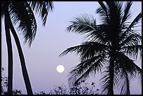 Palm trees and moon, Convoy Point. Biscayne National Park, Florida, USA.