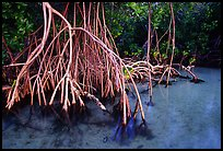 Mangrove (Rhizophora) root system,  Elliott Key. Biscayne National Park, Florida, USA. (color)
