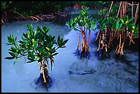 Small mangrove shrubs, Elliott Key. Biscayne National Park ( color)