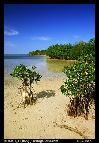 Mangrove shoreline on Elliott Key near the harbor, afternoon. Biscayne National Park (color)
