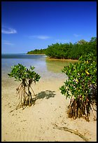 Mangrove shoreline on Elliott Key near the harbor, afternoon. Biscayne National Park, Florida, USA.