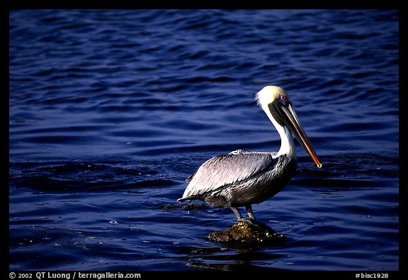 Pelican. Biscayne National Park (color)