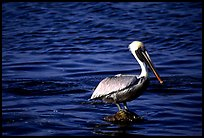Pelican. Biscayne National Park, Florida, USA.