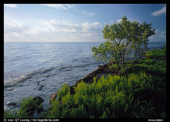 Saltwarts plants and tree on oceanside coast, early morning, Elliott Key. Biscayne National Park (color)