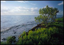 Saltwarts plants and tree on oceanside coast, early morning, Elliott Key. Biscayne National Park, Florida, USA. (color)
