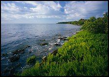 Saltwarts plants and tree on the outer coast, morning, Elliott Key. Biscayne National Park ( color)