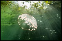 Jellyfish and sunrays below mangroves. Biscayne National Park ( color)