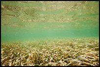Underwater view of seagrass. Biscayne National Park ( color)