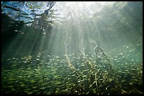 Sunrays and silverside fish school in mangrove forest. Biscayne National Park ( color)
