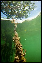 Mangrove root and leaves from under water. Biscayne National Park ( color)