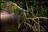 Mangrove tree branches at night, Convoy Point. Biscayne National Park, Florida, USA. (color)
