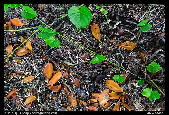 Fallen mangrove leaves, beached seagrass. Biscayne National Park (color)