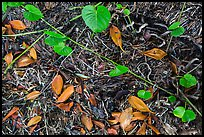 Fallen mangrove leaves, beached seagrass. Biscayne National Park ( color)