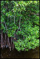 Mangrove roots and leaves. Biscayne National Park, Florida, USA. (color)