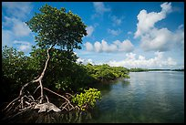 Tall mangrove tree and channel, Swan Key. Biscayne National Park ( color)