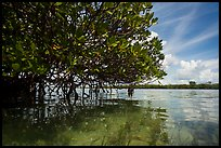 Mangrove and reflections in glassy water. Biscayne National Park ( color)