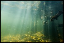 Sunrays and mangrove roots, Convoy Point. Biscayne National Park ( color)