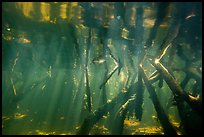 Underwater view of roots of mangroves, Convoy Point. Biscayne National Park ( color)