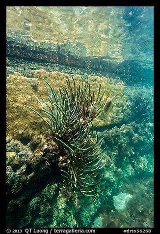 Coral outside Fort Jefferson moat. Dry Tortugas National Park (color)