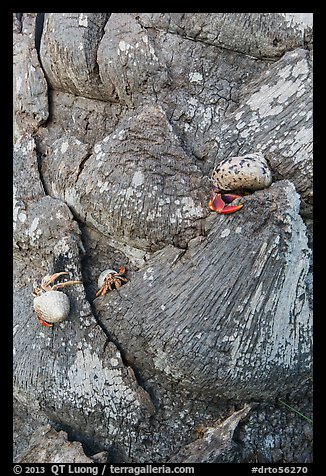 Hermit crabs at the base of palm tree, Garden Key. Dry Tortugas National Park (color)