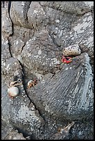 Hermit crabs at the base of palm tree, Garden Key. Dry Tortugas National Park, Florida, USA. (color)
