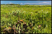 Prickly Pear cactus, Loggerhead Key. Dry Tortugas National Park, Florida, USA. (color)