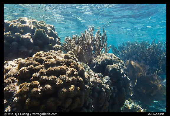 Coral in shallow reef, Little Africa, Loggerhead Key. Dry Tortugas National Park (color)