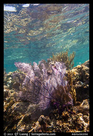 Fan coral, Little Africa, Loggerhead Key. Dry Tortugas National Park (color)