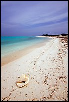 Conch shell and sandy beach on Bush Key. Dry Tortugas National Park, Florida, USA. (color)