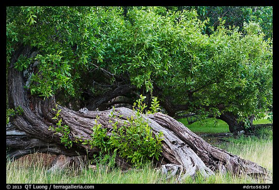 Ancient buttonwood trees inside Fort Jefferson. Dry Tortugas National Park (color)
