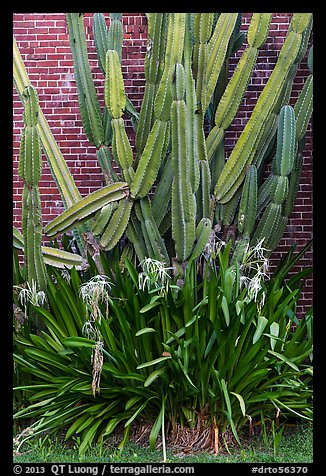 Cactus and brick walls. Dry Tortugas National Park (color)