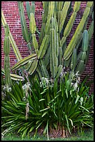 Cactus and brick walls. Dry Tortugas National Park, Florida, USA. (color)