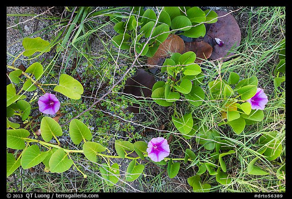 Ground view with flowers and fallen leaves, Garden Key. Dry Tortugas National Park (color)