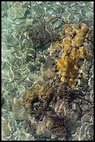 Coral underwater seen from above, Garden Key. Dry Tortugas National Park ( color)