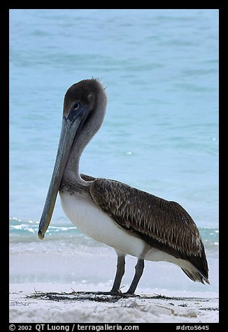 Pelican, Garden Key. Dry Tortugas National Park (color)