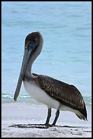 Pelican, Garden Key. Dry Tortugas National Park, Florida, USA.