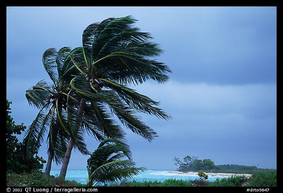 Palm trees windblown on a stormy day. Dry Tortugas National Park (color)