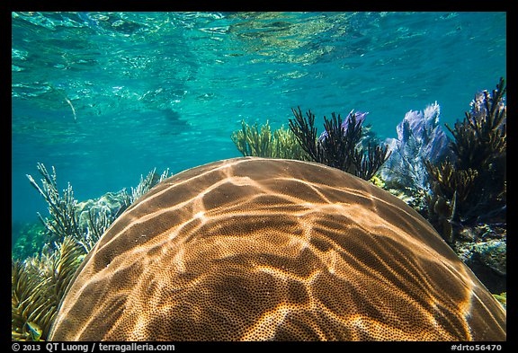 Large brain coral, Little Africa reef. Dry Tortugas National Park (color)