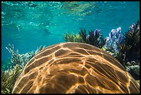 Large brain coral, Little Africa reef. Dry Tortugas National Park ( color)