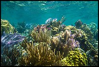 Variety of colorful corals, Little Africa reef. Dry Tortugas National Park ( color)