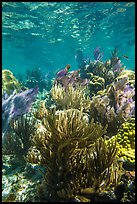 Dense colorful corals, Little Africa reef. Dry Tortugas National Park, Florida, USA. (color)