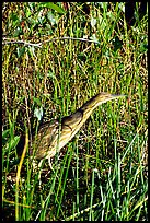 American Bittern. Everglades National Park, Florida, USA. (color)
