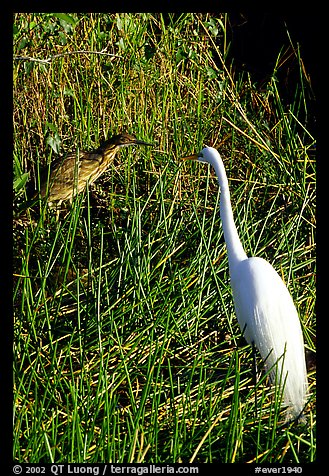 American Bittern and Great White Heron. Everglades National Park (color)
