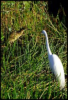 American Bittern and Great White Heron. Everglades National Park, Florida, USA.