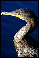Cormorant. Everglades National Park, Florida, USA. (color)