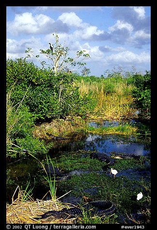 Egrets, alligators, ahinga, from the Ahinga trail. Everglades National Park (color)