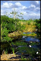 Egrets, alligators, ahinga, from the Ahinga trail. Everglades National Park, Florida, USA. (color)